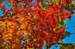 红色橙色叶子的秋天,橙色,太阳树分支,枫叶,滨海边疆区 库存图片