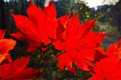 红色橙色叶子的秋天,橙色,太阳树分支,枫叶,滨海边疆区 图库摄影