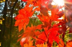 红色橙色叶子的秋天,橙色,太阳树分支,枫叶,滨海边疆区 库存照片
