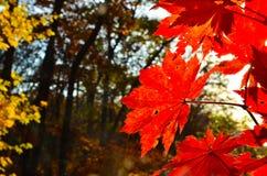 红色橙色叶子的秋天,橙色,太阳树分支,枫叶,滨海边疆区 免版税库存照片