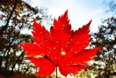 红色橙色叶子的秋天,橙色,太阳树分支,枫叶,滨海边疆区 免版税图库摄影