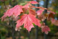 红色橙色槭树分支在秋天把垂悬留在 免版税库存照片