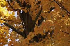 秋天槭树颜色 图库摄影