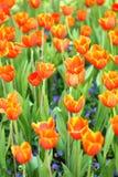 红色橙色郁金香 免版税库存图片