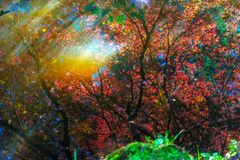 红色橙色鸡爪枫树Reflection Abstract范Dusen Ga 免版税库存照片