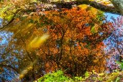 红色橙色鸡爪枫树Reflection Abstract范Dusen Ga 库存图片