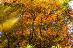 红色橙色鸡爪枫树Reflection Abstract范Dusen Ga 免版税图库摄影