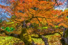 红色橙色鸡爪枫Trees Abstract范Dusen Garden Vancou 库存图片