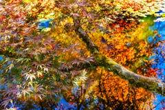 红色橙黄鸡爪枫树Reflection Abstract范D 免版税图库摄影