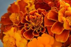 红色橙黄色万寿菊特写镜头  免版税库存图片