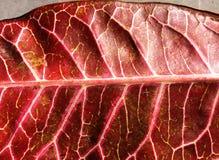 红色橡胶树叶子 图库摄影