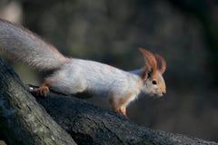 红色欧洲灰鼠坐一个倾斜的分支 图库摄影