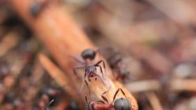 红色欧洲红褐林蚁,胶木rufa,保卫他们的巢的战士在一个杉木森林里在苏格兰在一个晴天期间在4月 影视素材