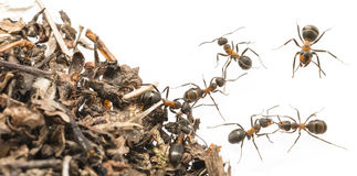 红色欧洲红褐林蚁胶木rufa关闭 库存照片