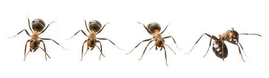 红色欧洲红褐林蚁& x28; 胶木rufa& x29; 免版税图库摄影