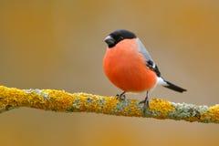 红色歌手红腹灰雀坐黄色地衣分支, Sumava,捷克共和国 从自然的野生生物场面 红腹灰雀在森林里 免版税库存图片