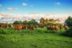 红色母牛在草甸吃草 免版税库存图片