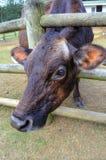 红色母牛通过她的小牧场篱芭黏附她的头 免版税库存图片
