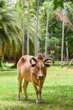 红色母牛 免版税库存照片