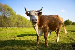 红色母牛 免版税库存图片