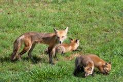 红色母狐狸的小狗 免版税库存图片