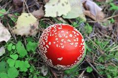 红色毒害了生长在夏天森林里的蘑菇 库存照片