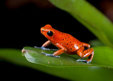 红色毒物箭青蛙 库存图片