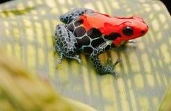 红色毒物箭头青蛙 免版税库存照片