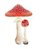 红色毒物蘑菇伞形毒蕈 免版税库存图片