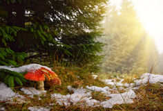 红色毒蘑菇在第一雪下的秋天森林里 免版税库存图片