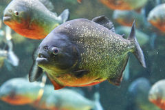 红色比拉鱼(Pygocentrus nattereri) 免版税图库摄影