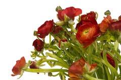 红色毛茛属asiaticus; 查出在白色 库存图片