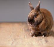 红色毛茸兔宝宝听 库存照片