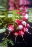红色水下萝卜和的反射 免版税库存照片