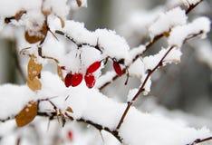 红色水多的伏牛花用白雪盖 免版税库存图片