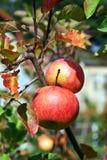 红色水多的苹果在果树园 免版税库存照片