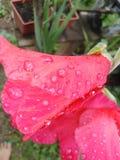 红色水的花和滴  库存照片