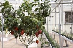 红色水耕的胡椒 免版税库存图片