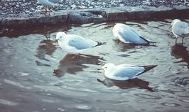 红色沐浴在淡水的开帐单的海鸥 免版税库存图片