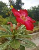 红色沙漠玫瑰色花 免版税库存照片