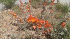 红色沙漠花 免版税图库摄影