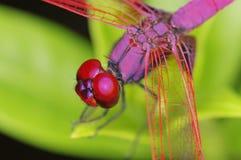 绯红色沼泽滑翔机蜻蜓 免版税库存照片