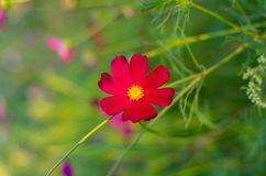 红色波斯菊花园 开花在庭院里的波斯菊花 免版税图库摄影