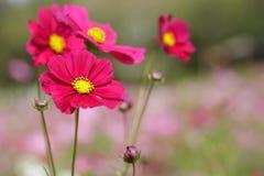 红色波斯菊花在公园 图库摄影