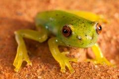 红色注视池蛙 免版税库存照片