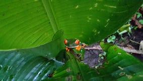 红色注视青蛙 库存照片