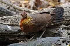 红色泰国的junglefowl背带背带美丽的母鸟 免版税图库摄影