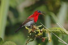 绯红色泰国的Sunbird Aethopyga siparaja公逗人喜爱的鸟 库存图片