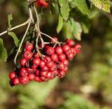 红色浆果 免版税库存照片