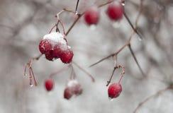 红色浆果 库存图片